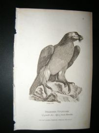 Shaw C1810 Antique Bird Print. Bearded Vulture